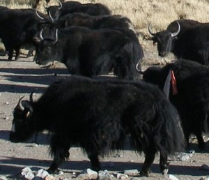 Yak herd in Tibet. This image courtesy of http://www.asia-insider-photos.com/.